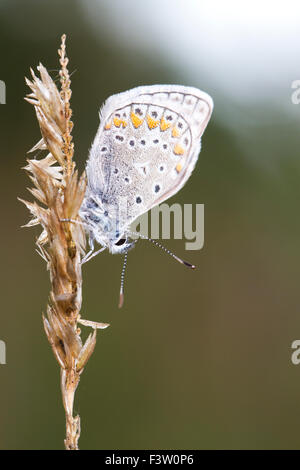 Common Blue butterfly (Polyommatus icarus)adult male roosting, covered in dew. Causse de Gramat, Lot region, France. - Stock Photo