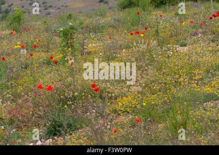 Wild flowers including Corn Poppy, Buckler Mustard, and Kidney Vetch flowering. Causse de Gramat, Lot region, France. - Stock Photo