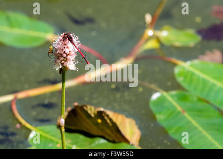 Red dragonfly on sitting the pink flower