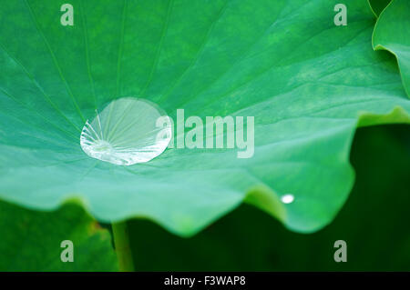 A water drop on lotus pad (leaf) - Stock Photo
