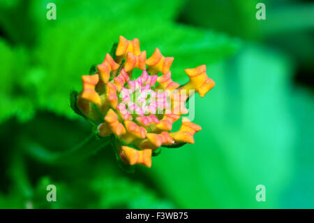 A closeup shoot of lantana camara flower - Stock Photo