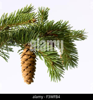 Fir-cone on a branch - Stock Photo