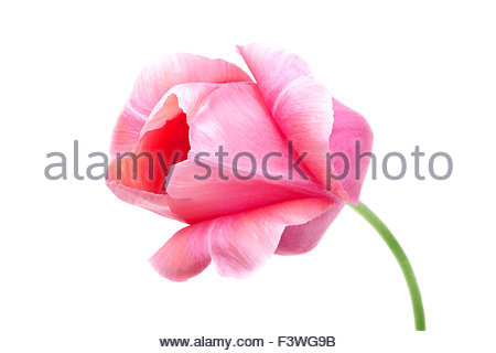 pink tulip isolated on white - Stock Photo