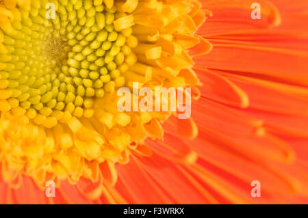 The close up view of orange marguerite - Stock Photo