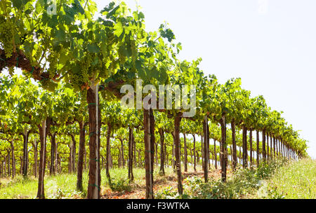 Row of young grape vines - Stock Photo