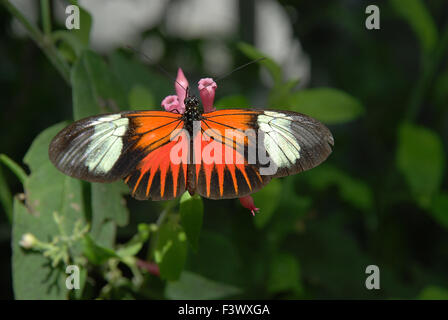 butterfly, kleiner Postbote - Stock Photo