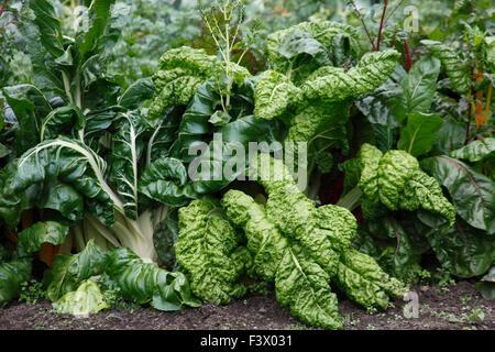 Beta vulgaris Cicla chard  close up of growing crop - Stock Photo