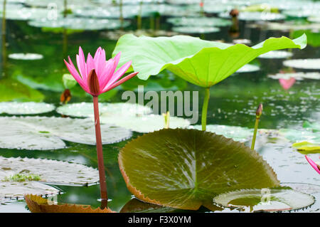 A single pink water lily with lotus leaf - Stock Photo