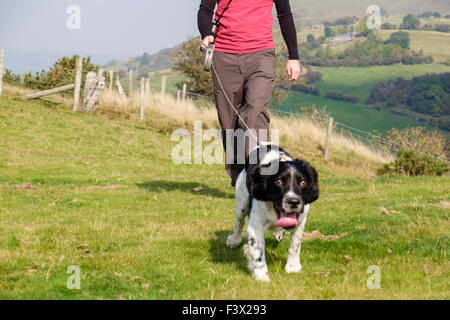 Dog walker owner taking an English Springer Spaniel dog for a daily walk on a lead in countryside dog pulling. Todleth - Stock Photo