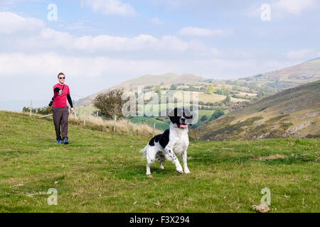 Eager English Springer Spaniel dog pulling on lead when owner taking him for a walk in country side. Todleth Hill - Stock Photo