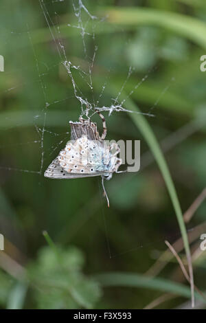 Chalkhill blue butterfly Lysandra coridon male captured by spider - Stock Photo