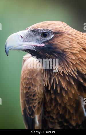 Wedge-tailed Eagle - Stock Photo