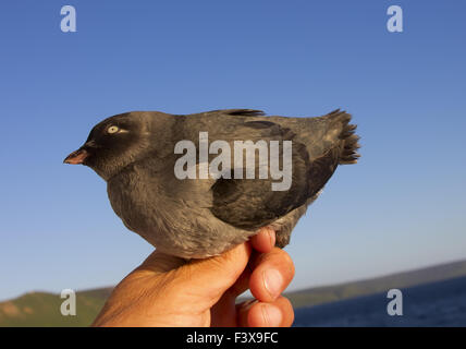 The Whiskered auklet - Stock Photo