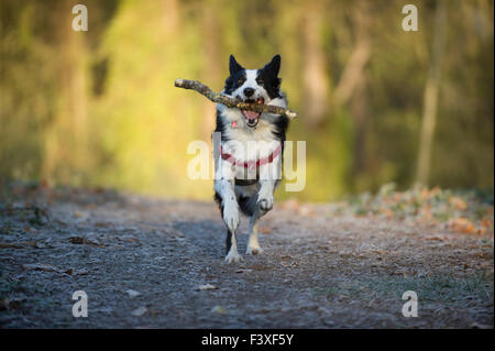 Border Collie with a stick in its mouth running towards the camera. - Stock Photo