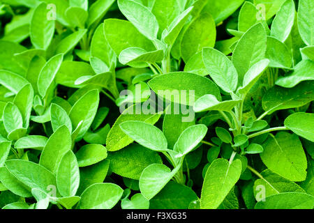 sage, Salvia farinacea - Stock Photo