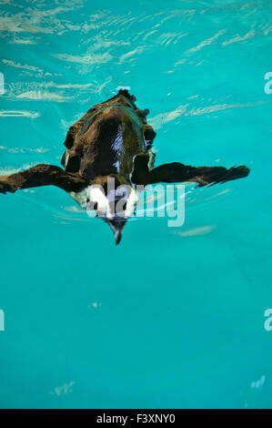 penguin swimming - Stock Photo