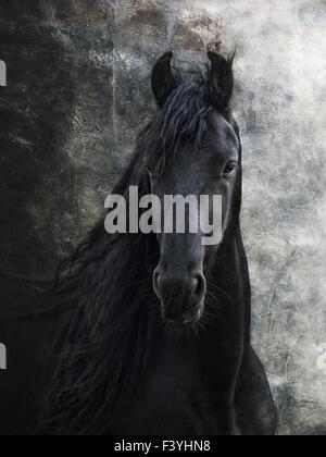 young frisian stallion - Stock Photo
