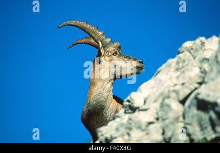 Alpine ibex; - Stock Photo
