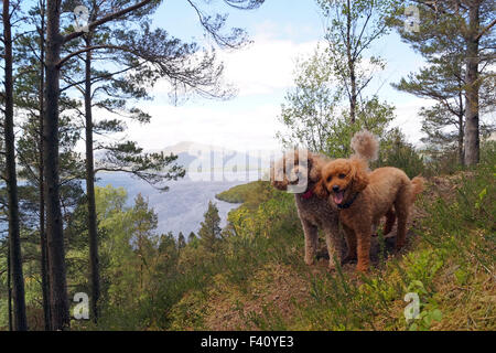 View of Loch Lomond from Conic Hill with Toy and Mini Poodles at the top of the hill happily looking at the camera - Stock Photo