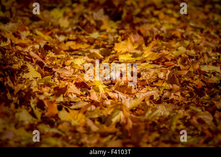 Crisp autumn leaves covering the floor - Stock Photo
