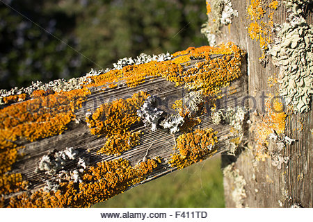Thick colorful lichens on a wooden fencepost, with horizontal rail seen extending diagonally from the side. - Stock Photo