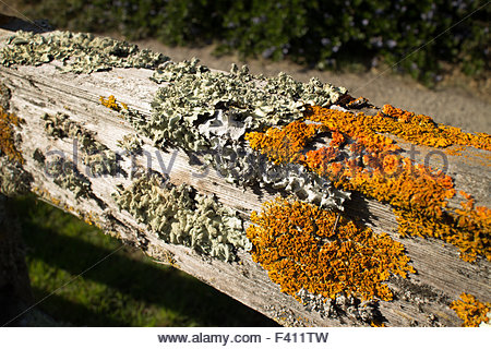 Thick colorful lichens on a wooden fence, featuring a horizontal upper rail. The lichens are green and orange - Stock Photo