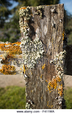 Thick colorful lichens on a wooden fencepost, with horizontal rail seen extending from the side. - Stock Photo