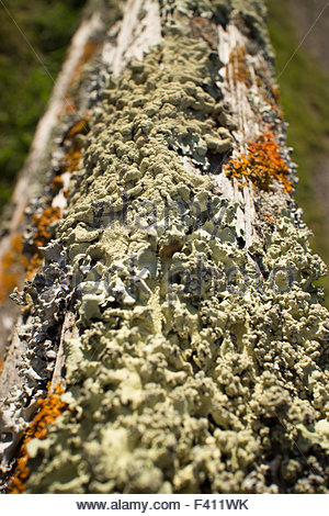 Thick colorful lichens on a wooden fencepost, with upper rail leading away from foreground - knobby green lichens - Stock Photo