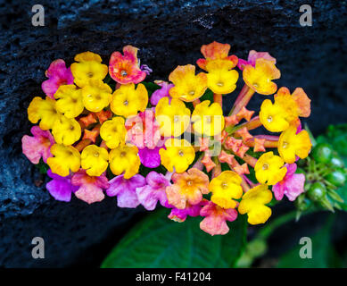 Lantana camara, big sage, Hawai'i Volcanoes National Park, Big Island, Hawai'i, USA - Stock Photo