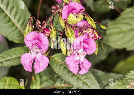 Impatiens glandulifera, Policemans helmet Stock Photo