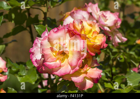 Rosa Bonanza, Shrub rose - Stock Photo