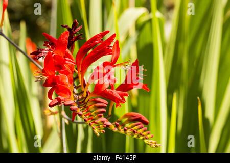 Crocosmia x crocosmiiflora Lucifer - Stock Photo