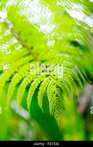 Close-up detail of delicate fern; Hawai'i Tropical Botanical Garden Nature Preserve; Big Island, Hawaii, USA - Stock Photo