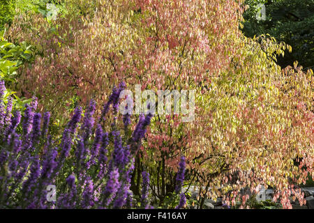 Euonymus sanguineus, Spindle tree in autumn - Stock Photo