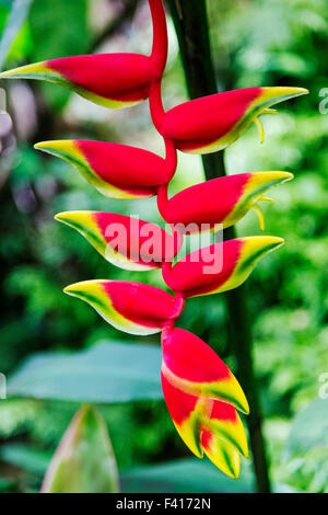 Wildflower, Hanging Lobster Claw, Heliconia Rostrata, Heliconiaceae, Hawai'i Tropical Botanical Garden Nature Preserve; - Stock Photo