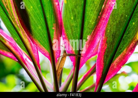 Cordyline fruiticosa 'Baby Doll'; Ti plant; Hawai'i Tropical Botanical Garden Nature Preserve; Big Island, Hawaii, - Stock Photo