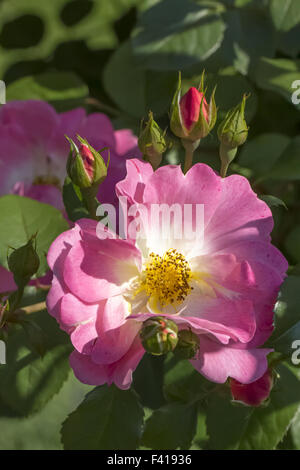 Rosa Herzogin Friederike, shrub rose - Stock Photo