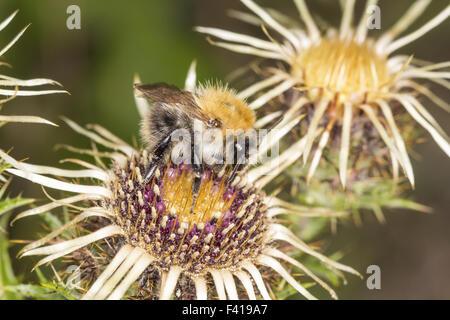 Bombus pascuorum, Common carder bee, Germany - Stock Photo