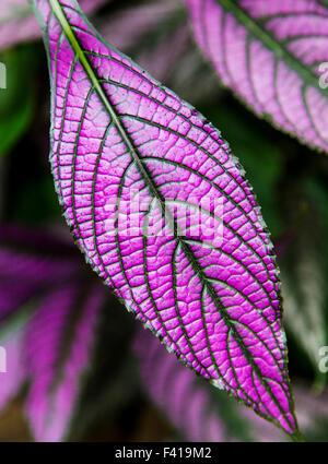 Persian Shield; Strobilanthes Dyeranus; Acanthaceae; Hawai'i Tropical Botanical Garden Nature Preserve; Big Island, - Stock Photo