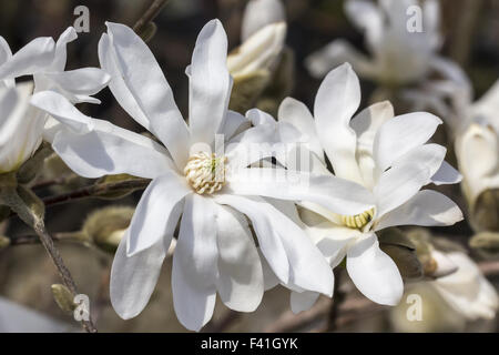 Magnolia stellata Royal Star, Star magnolia - Stock Photo