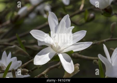 Magnolia stellata, Star magnolia - Stock Photo