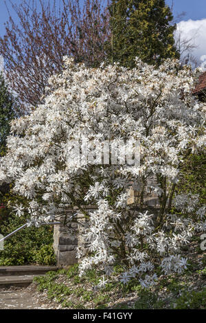 Magnolia stellata, Star magnolia from Germany - Stock Photo