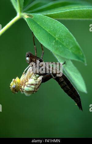 dragonfly; blue green mosaikjungfer; larva; - Stock Photo