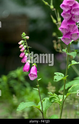 Striking beautiful foxglove flowers in bright sunlight with a blurry background - Stock Photo