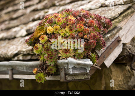 UK, England, Shropshire, Craven Arms, Stokesay Castle, gatehouse, spiky succulent plant growing in lead gutter - Stock Photo