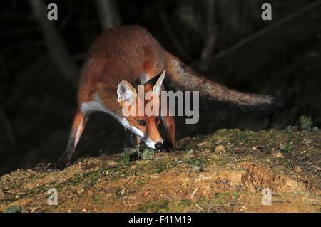 Red fox hunting at night