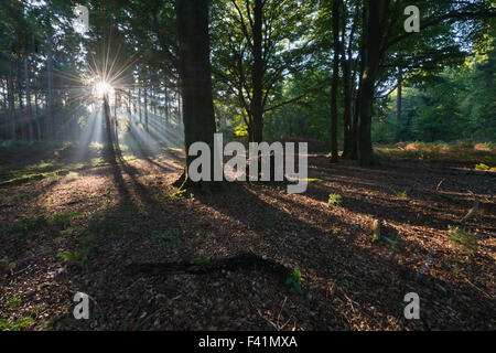 Rays of sunlight in forest, Emsland, Lower Saxony, Germany - Stock Photo