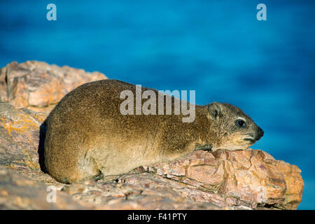 Rock hyrax or rock badger (Procavia capensis), Hermanus, Western Cape, South Africa - Stock Photo