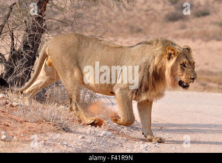 Lion (Panthera leo) - Stock Photo