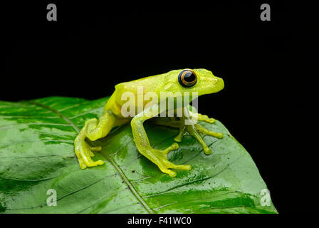 Demerara Falls tree frog (Hypsiboas cinerascens), family of tree frogs and their allies (Hylidae), Amazon rainforest - Stock Photo